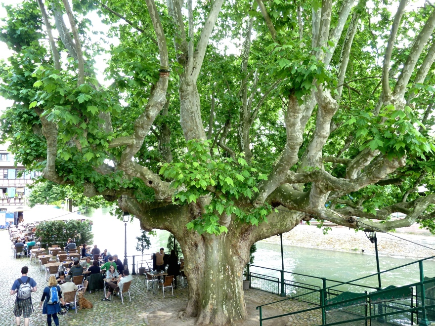 A gigantic tree shades the diners