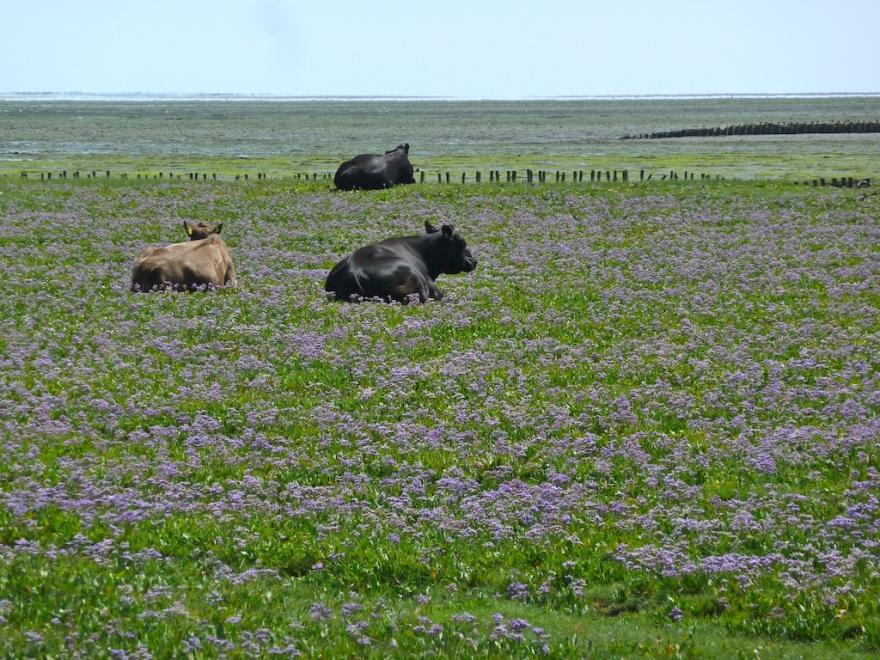 Cows resting in Halligflieder