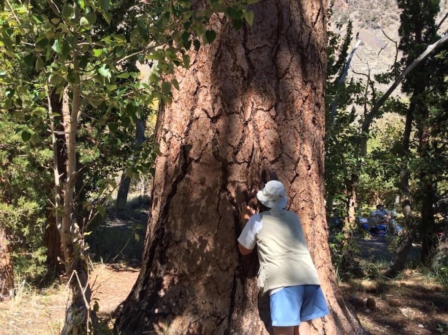 Eva is enjoying the vanilla odor of yellow pine bark.