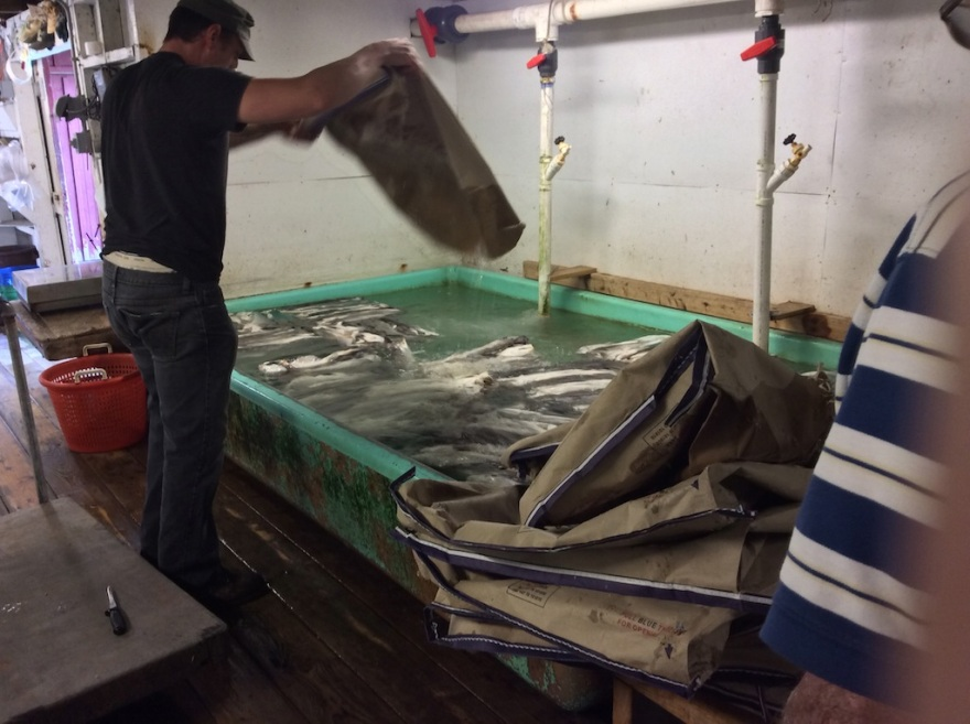 Haddock frozen on board the fishing boat are thawed and sent right away to local markets.