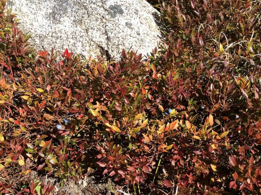 Blueberry bush against granite bedrock