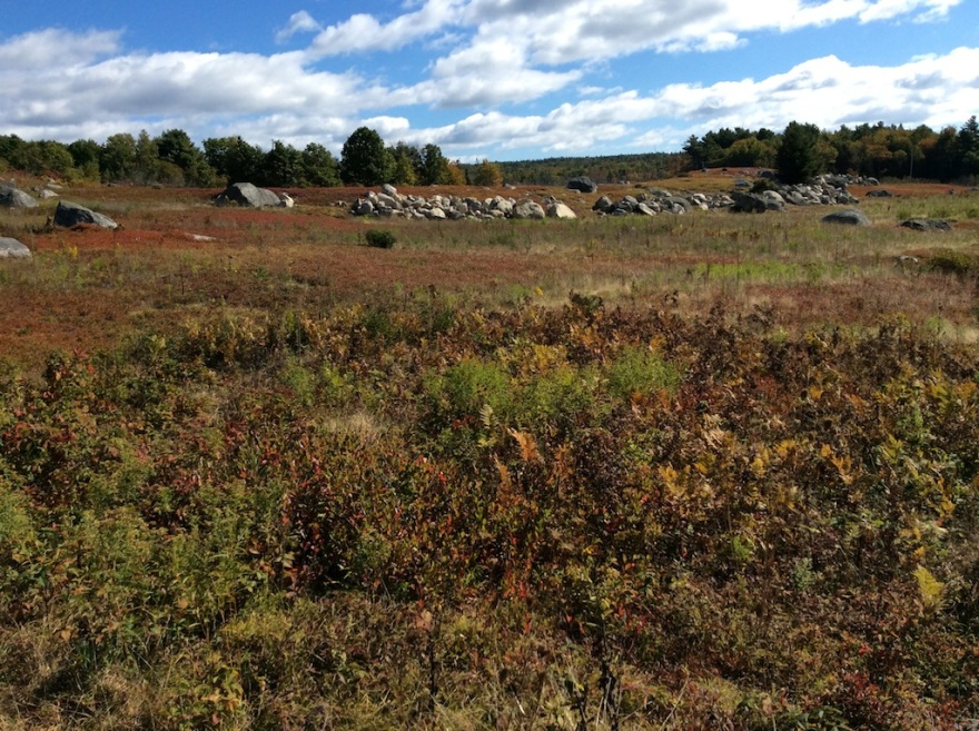 Blueberry barrens turning red