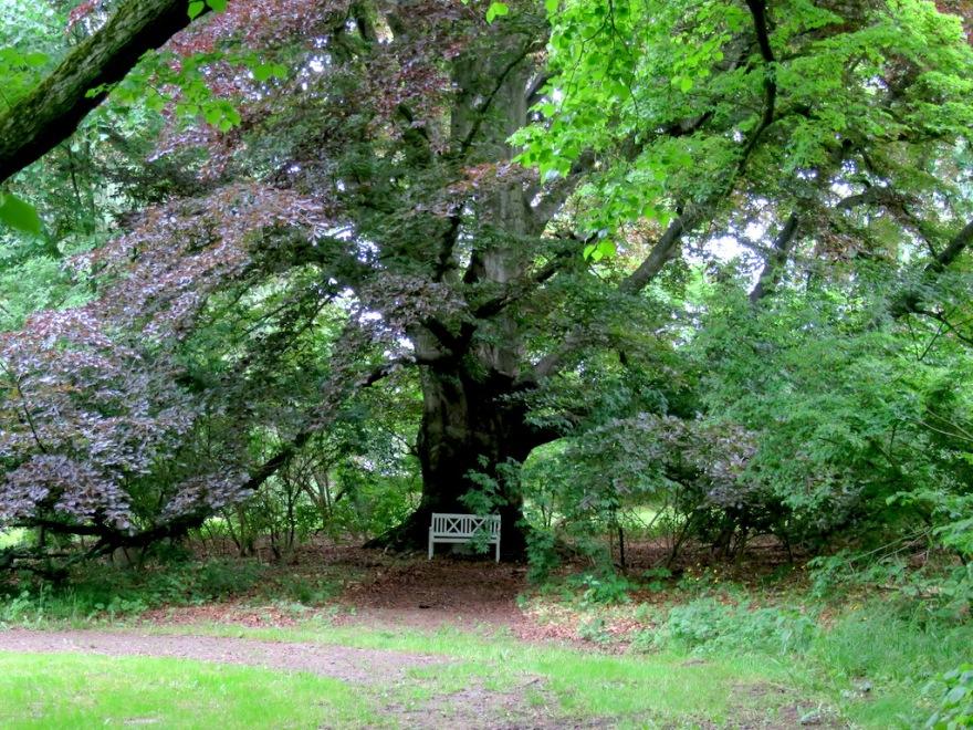 A giant beech tree