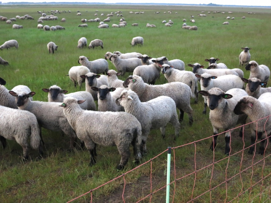 Sheep behind electric fencing