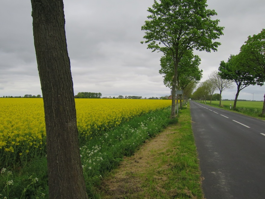 Rapeseed field beside a country road