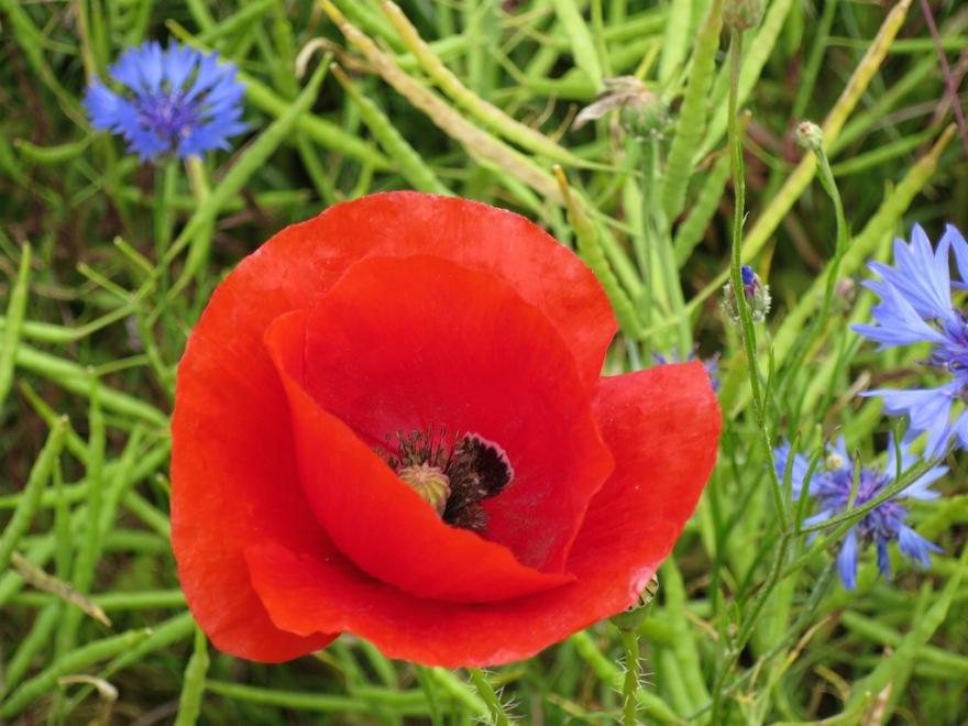 A European poppy
