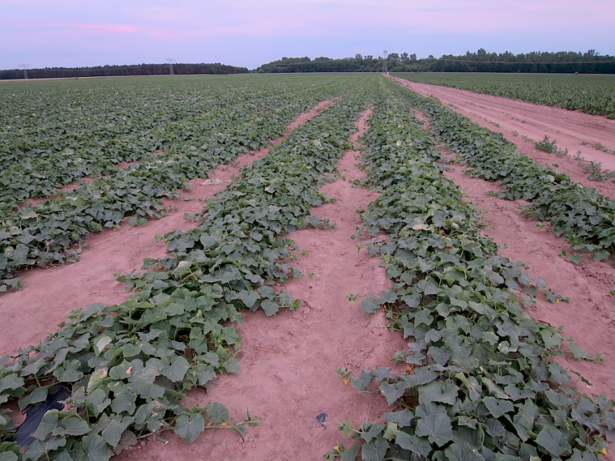 Cucumber field of considerable size