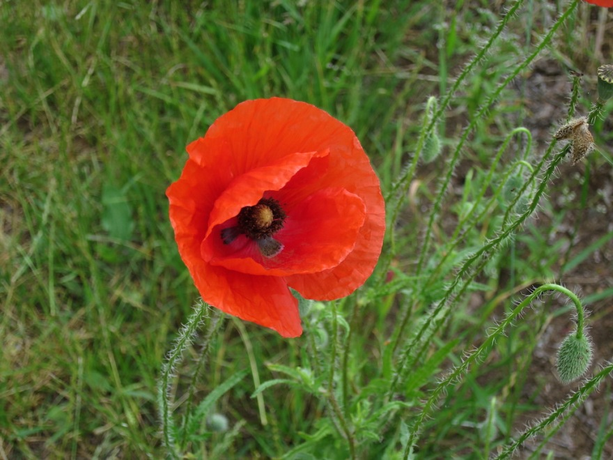 Poppies are our favorite.