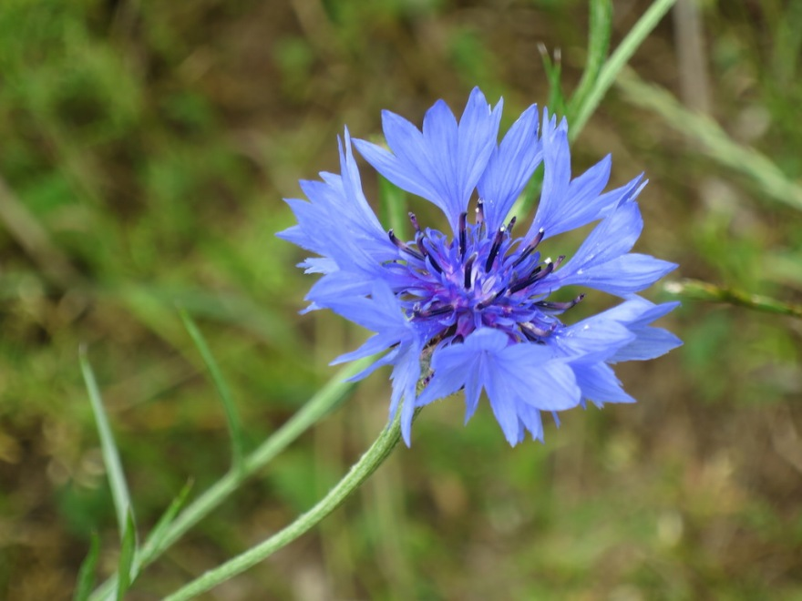 Corn flowers are intense, too.