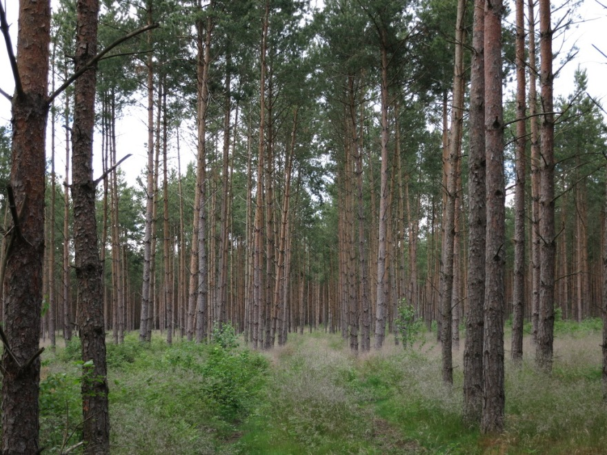 Pine forests cover poor, sandy soil.
