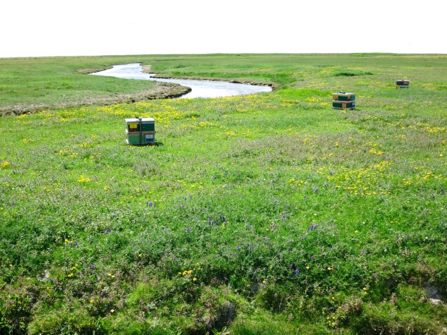 Bees from the Mainland love the Hallig