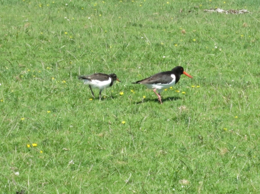 Mama Oyster Catcher showing the young one the ropes
