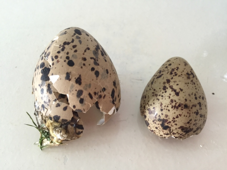 Shells of two bird eggs we found on our walks