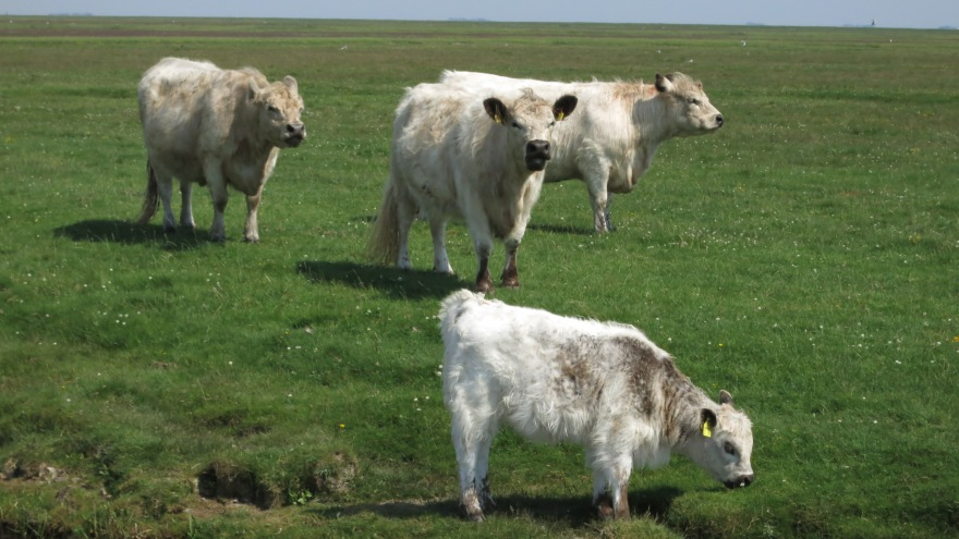 Shaggy Galloways