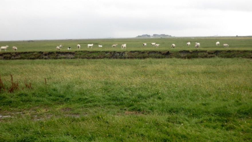 Hallig Sheep