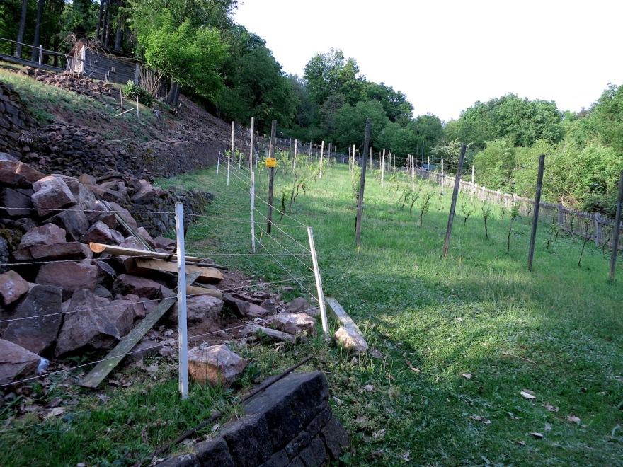 A bit of vineyard restoration