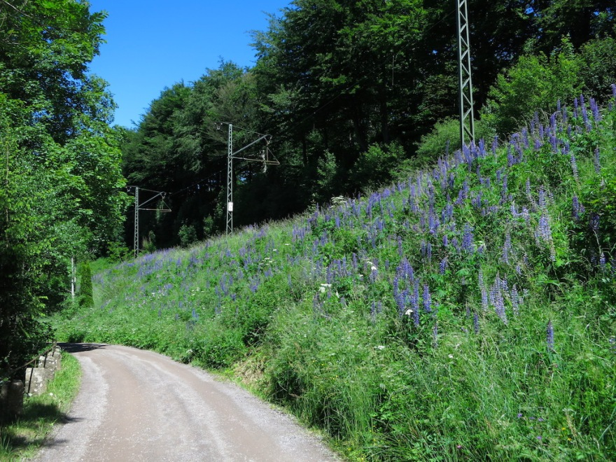 High season for lupines