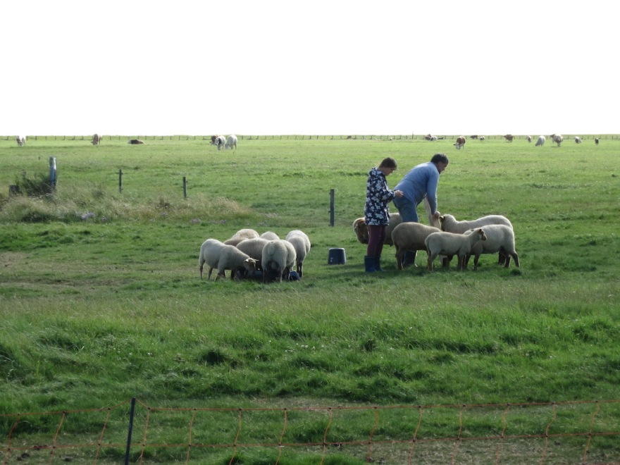 Our hosts tend their sheep.  In a few days they will be off to market.