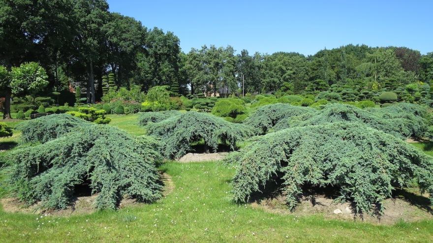 Shaped junipers